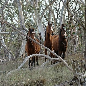 Brumbies in the gums near Sheep Station creek