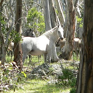 Our Silver Brumby in the wilderness