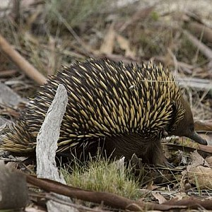 Our beautiful Echidna's